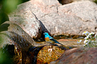 Lazuli Bunting by Dave Fahrney