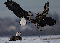 Eagles by Pat Gaines