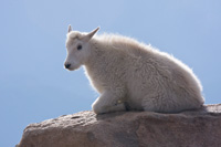 Mountain goat kid by Cecil Hellyer