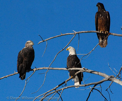 Bald Eagle Family by Dawn Wilson